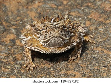 frontal close up  of texas  horned lizard in valley of fires park, near carrizozo, new mexico