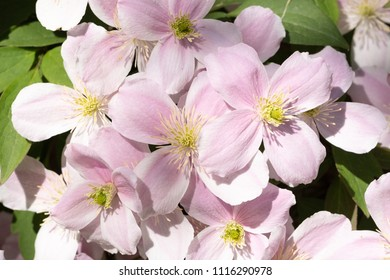 Frontal close-up of a beautiful Clematis Montana Rubens flower with light pink and white petals and yellow stamens and fresh green leaves.
