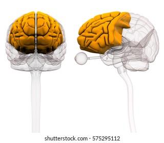 Frontal Lobe Brain Anatomy - 3d illustration