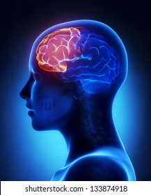 Frontal lobe - female brain anatomy lateral view