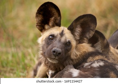 Frontal Portrait of African Wild Dog older puppy