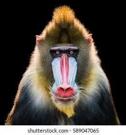 Frontal Portrait of a Backlit Male Mandrill