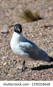 Frontal portrait of cute andean sea gull in sand, Andes Mountains near Atacama desert, border between Chile and Bolivia