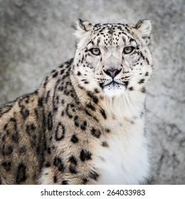 Frontal Portrait of Snow Leopard in Snow