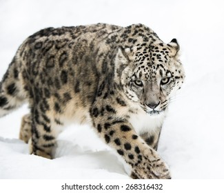 Frontal portrait of Snow Leopard walking in snow