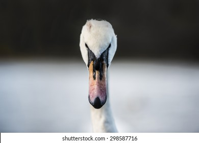 Frontal portrait of a swan with black and white background