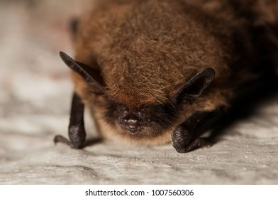 Frontal shot of a whiskered bat (Myotis mystacinus), hibernating on a stone wall