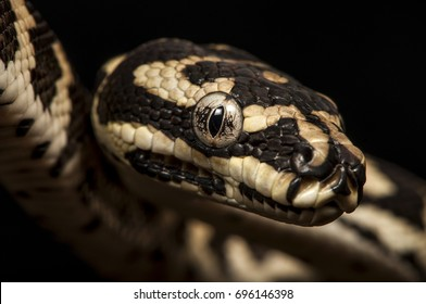 Frontal  side view of the head of a juvenile Carpet-, or Diamond python, a species occurring throughout most of Australia