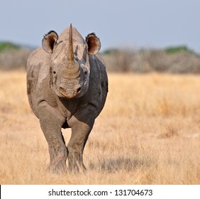 Frontal view of the critically endangered Black Rhinoceros, Diceros bicornis, also called hook-lipped rhinoceros.