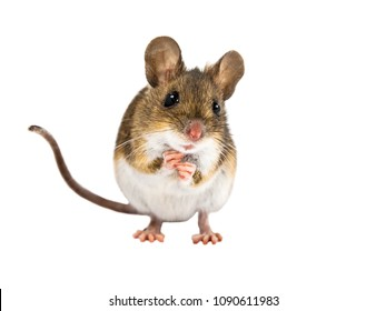 Frontal view of cute Wood mouse (Apodemus sylvaticus) standing on white background