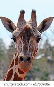 Frontal view of a giraffe head