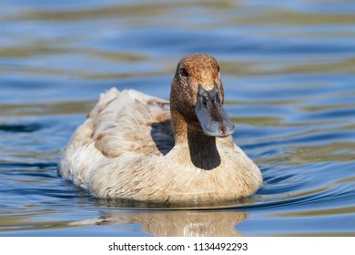 Frontal view of a hybrid duck swimming in a lake.
