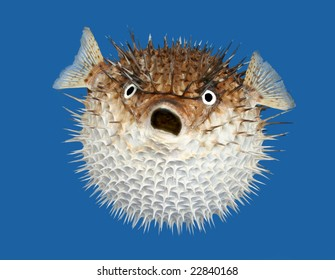 Frontal view of a porcupine fish, isolated on a blue background.