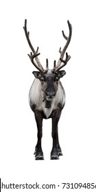 Frontal view of reindeer isolated on a white background. The whole body with antlers.