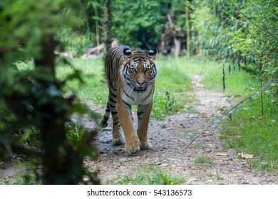 Frontal view of a siberian tiger or Amur tiger, Panthera tigris altaica, walking along a path trail in the forest.