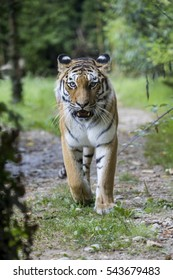 Frontal view of a siberian tiger or Amur tiger, Panthera tigris altaica, looking at the camera in the forest.