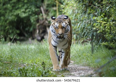 Frontal view of a siberian tiger or Amur tiger, Panthera tigris altaica, walking in the forest.