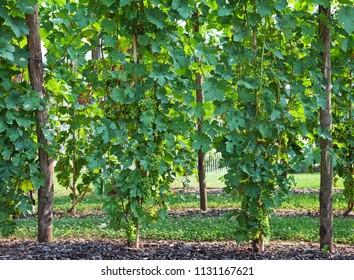 Frontal view of vineyards in summer, in Piedmont, Italy