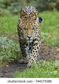 Frontal view of a walking Jaguar (Panthera onca)