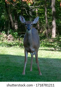 Frontal view of a white-tailed deer which stands on a Pennsylvanian meadow