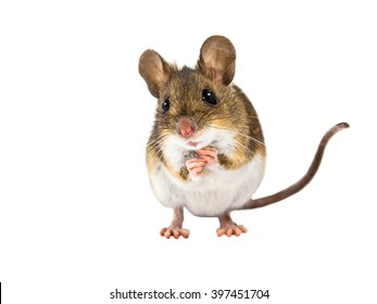 Frontal view of Wood mouse (Apodemus sylvaticus) standing on white background