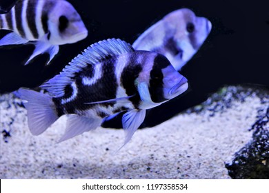 The frontosa Cichlid, humphead Cichlid (Cyphotilapia frontosa) in freshwater aquarium, the cichlid family endemic to Lake Tanganyika in East Africa. a hump on the head which increases with age.