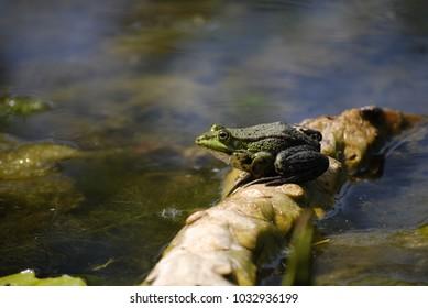Frosch Frog Wasser