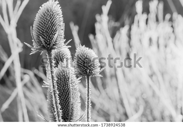 Frost covered Indian Teasel Seed Heads.