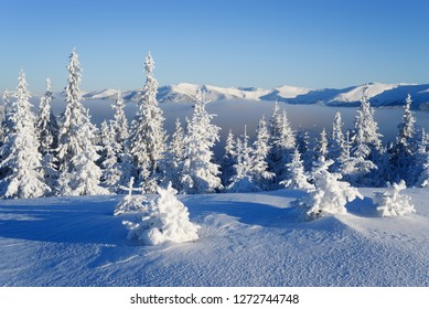 Frost covered trees in the mountain fir forest. Sunny weather in winter. Morning landscape with blue sky