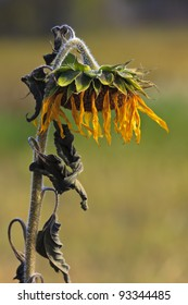 Frost has taken its effects on this yellow sunflower