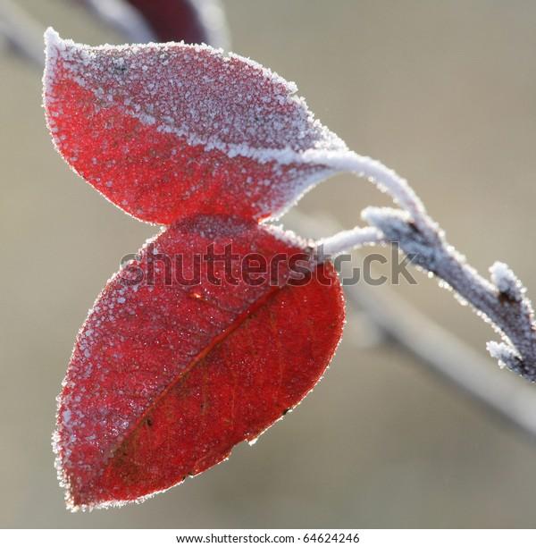Frost leaves, frozen leaves