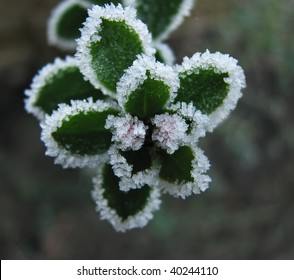 Frost on Escallonia Buds