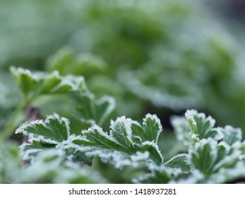 Frost on the green of parsley. The sudden cold on the street. Frost on the edges of the leaves of the plant.