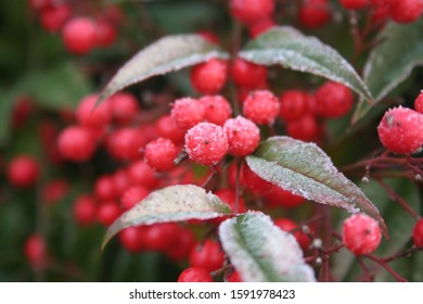Frost on Heavenly bamboo with beautiful red berries. Nandina domestica bush in winter. Christmas or winter background