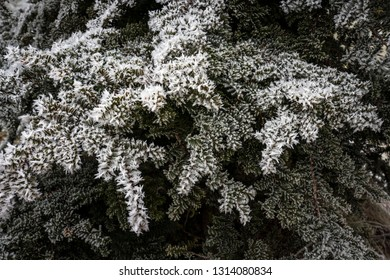 Frost on Japanese Yew needles close up.