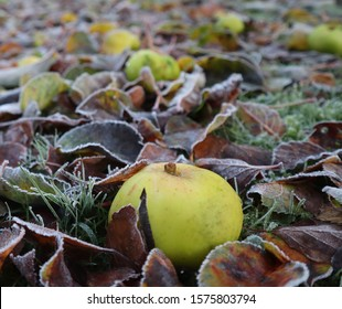 Frost on leaves and apples on a cold winter day in garden, frosty grass and ice on fruit with autumn leaves on the icy and frosted lawn.  Fallen fruit and dead leaves.