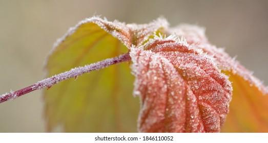 Frost on red leaf raspberry bush