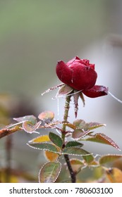 frost on the rose