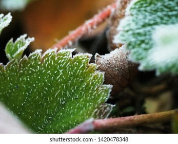 Frost on strawberry leave. Frost on strawberry leaves. The sudden cold on the street. Frost on the edges of the leaves of the plant. Close up
