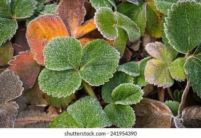 Frost on Strawberry Leaves.
