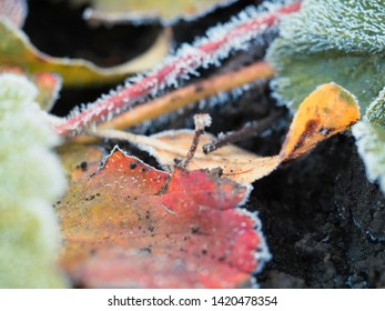 Frost on strawberry leaves. The sudden cold on the street. Frost on the edges of the leaves of the plant. Close up