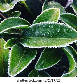 the frost on tea leaves