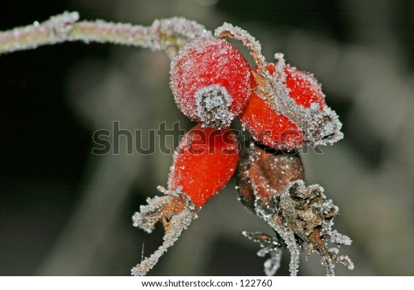 Frost red grape