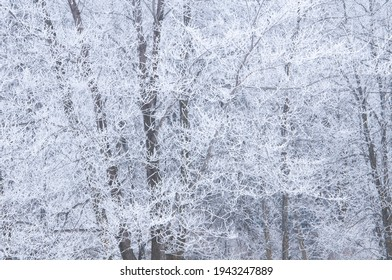 Frost and rime cover trees in the woods