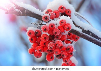 Frost-covered berries in the cold of winter. Shallow depth-of-field