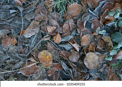 Frosted beech tree leaves on the forest floor