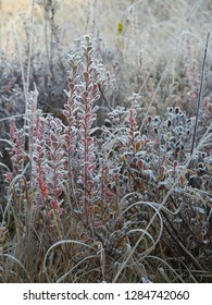 frosted bog bilberry bush