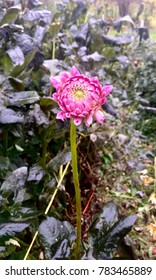 Frosted Dahlia on Long Stem