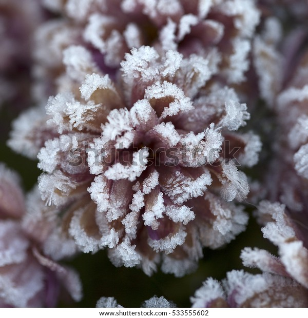 Frosted flower of Chrysanthemum