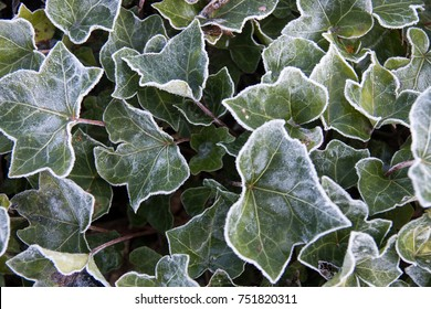 Frosted foliage up close in the morning on the Sunshine Coast in British Columbia, Canada.